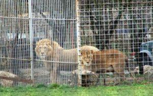 O femeie din Dambovita, sfasiata de leii unui bogat si influent executor judecatoresc. Omul are in curtea sa o adevarata gradina zoologica!