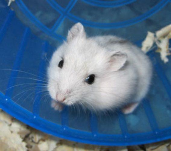 hamsterul pitic siberian