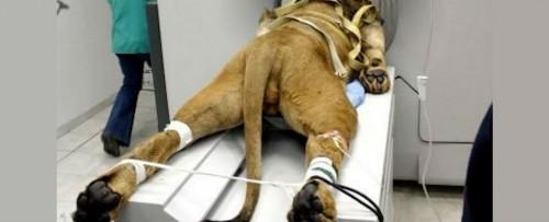 Interventie chirugicala de exceptie pentru salvarea unui leu a carui viata era in pericol din cauza captivitatii!