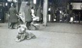O fotografie cat un milion de cuvinte! Hachiko suprins in asteptarea stapanului care nu a mai coborat niciodata in Gara Shibuya!