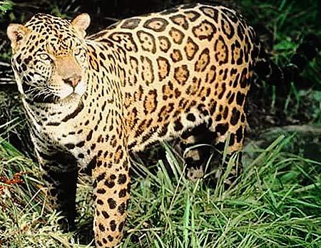 Miticul jaguar!