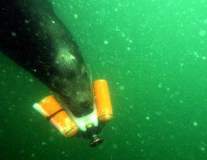 Animalele in RAZBOI! Delfini si lei de mare lucreaza sub acoperire pentru marina de razboi americana (ultima parte)