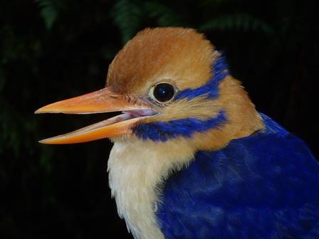 moustached-kingfisher-1_imagelarge