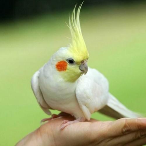 Papagalul nimfa! Ce spune creasta lor despre aceste pasari?