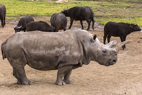 Au mai ramas doar trei rinoceri albi nordici, in toata lumea! O femela de 41 de ani a trebuit eutanasiata