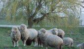 O MISIUNE NEOBISNUITA! Pompierii buzoieni au salvat dintr-o mlastina, o turma de oi
