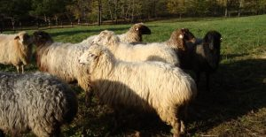 La Botosani a fost creata o rasa de oi, care va revolutiona zootehnia si industria alimentara