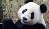panda giogant