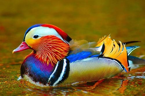 Nu doar masculii pasarilor au penaj intens colorat!