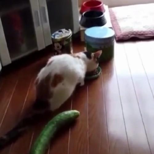 Pisicute care sar, ca ARSE, la vederea unui castravete!