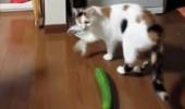 pisica castravete