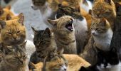 Pisica lider dintr-un grup de feline