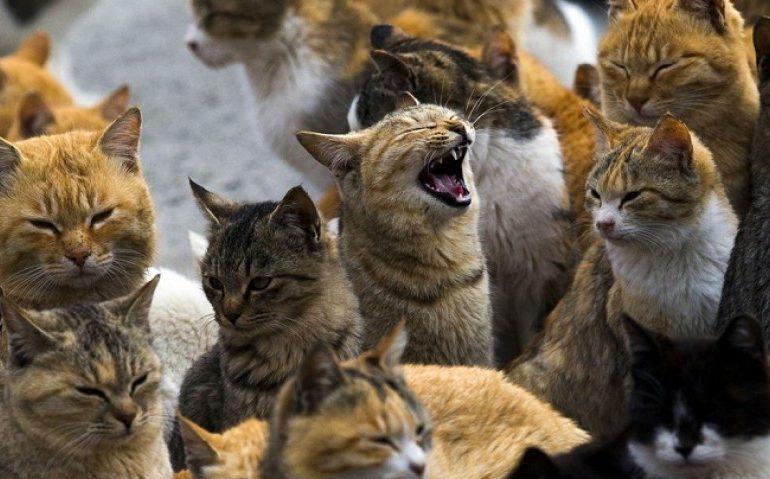 strategia de opțiuni pentru pisici)