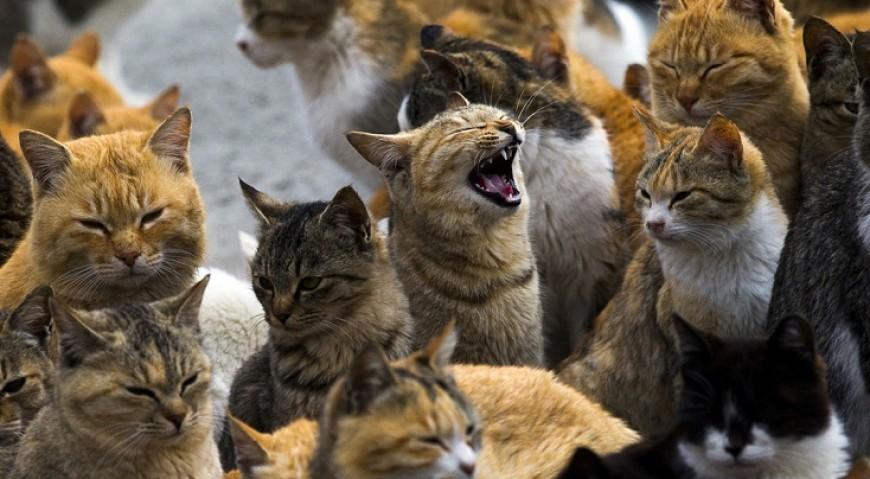 pisici cap