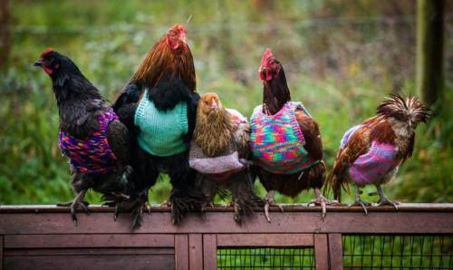 Gainile care poarta pulovere! In spatele demersuluis ta povestea trista a bietelor pasari…