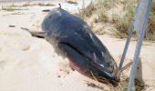 DESCOPERIRE ȘOCANTĂ! Uite ce au descoperit în stomacul unei balene gestante
