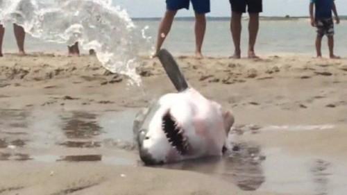 Marele rechin alb, salvat…de oameni!