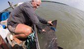 """Doi rechini """"dinti sulita"""" adulti vor fi monitorizati prin satelit! Informatiile culese vor ajuta la salvarea speciei pe cale de disparitie!"""