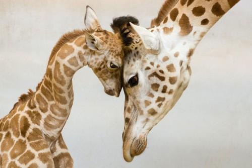 IMAGINI DEOSEBITE despre legatura dintre animale si puii lor!