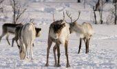 Focar de antrax in nordul Siberiei, pornit de la reni, pe fondul unui val de caldura