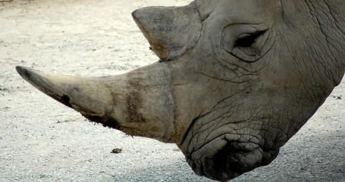 In Africa de Sud, justitia autorizeaza comertul cu coarne de rinocer pe teritoriul tarii