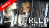 Absolut INDUIOSATOR! 38 de caini Beagles, crescuti pentru experimente de laborator, au fost salvati de la eutanasiere! Nu s-au vazut niciodata intre ei, nu au calcat niciodata pe iarba si nu aveau nume