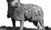 Animalele in RAZBOI! Sergentul Stubby, cel mai decorat caine in Marele Razboi (partea a II-a)