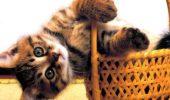 Sindromul vestibular felin sau cand pisicutele isi pierd echilibrul