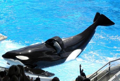 "SeaWorld va renunta la spectacolele cu ""balene ucigase"""