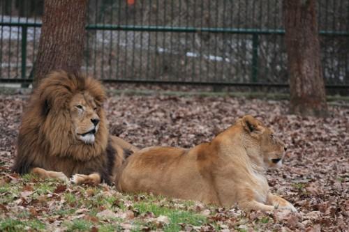 O premiera a ultimilor 50 de ani! La Zoo Targu Mures, puii de leu sunt crescuti impreuna cu familia!