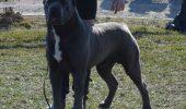 Frumosul din Mogosoaia! Uranus Nobile Corso, cotat printre primii 10 caini cei mai frumosi din lume!