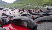 Vanatoare de balene – o problema care nici azi nu este remediata in totalitate