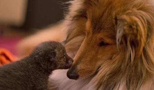 Impresionant: Un pui de vulpe adoptat de un Collie!