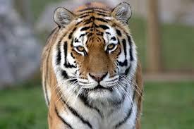 amur tigru
