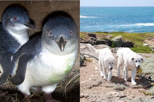 Cainii, paznicii celor mai mici pinguini din lume!