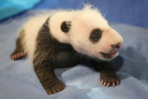 Puiul de panda gigant, Bei Bei, nascut in august la zoo din Washington, iese la admirat!