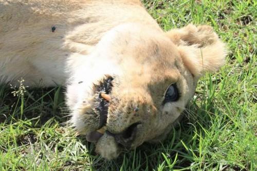 SCANDALOS: Cele opt exemplare de lei, din Kenya, vedete ale unui documentar al BBC, au fost otravite