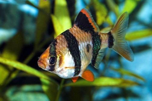 Unul dintre cei mai activ pesti de acvariu – Barbus Tetrazona!