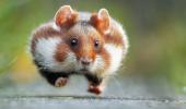 Hamsterul cel amuzant!
