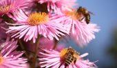 Disparitia albinelor poate lasa lumea fara cafea sau mere