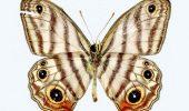 O specie rara de fluture amazonian, denumita dupa naturalistul David Attenborough