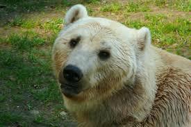 glolar bear