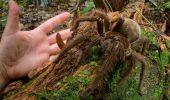 Un MONSTRU! Cel mai mare paianjen din lume, de marimea unui catelus!