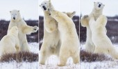 Bear Knuckle Boxing: Playful Polar Bears Trade Blows In The Snow