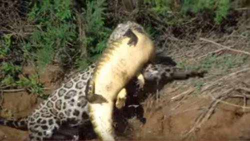 Atacul unui jaguar asupra unui crocodil i-a uimit si pe cei de la Animal Planet!