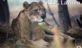 Leoaica Lavinia a fost UCISA de partenerul sau, Petrica! Leii fusesera transferati de la Baia Mare in Africa de Sud