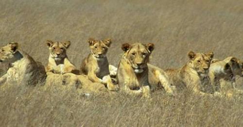 """SUA au clasat leii africani si pe cei din India – drept specii """"in pericol"""""""