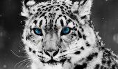 """Lucruri extraordinare despre """"FANTOMA MUNTILOR"""". Stiute, acestea ar putea proteja existenta felinelor!"""