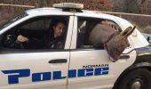 Salvat de pe strada, un magar nu a apreciat plimbarea cu masina politiei. El si-a facut nevoile pe bacheta…