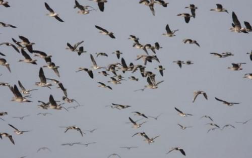 Migratia – un real pericol pentru pasarile din intreaga lume!
